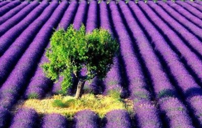 Lavanda si beneficiile sale